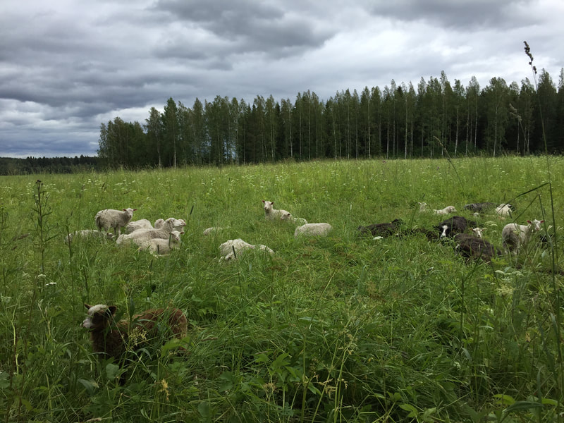 Sheep pasturing on grass land