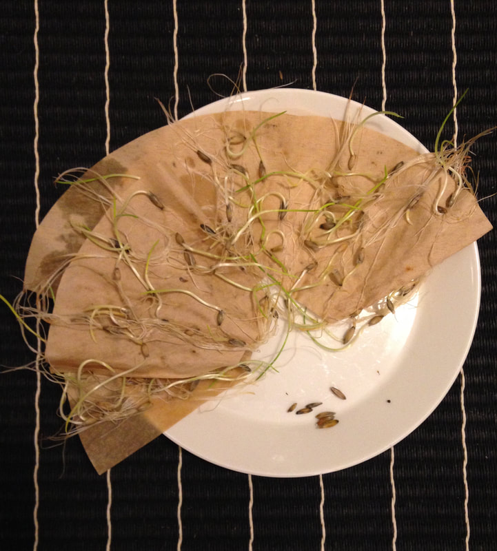 Glutenfree Organic Oat from Finland germination